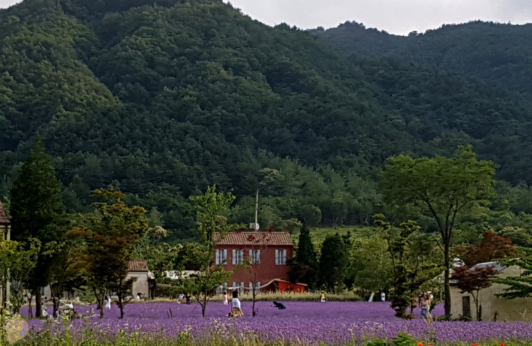 View from the entrance of the Lavender Farm